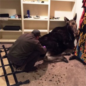 Moose escapes the cold in Idaho basement