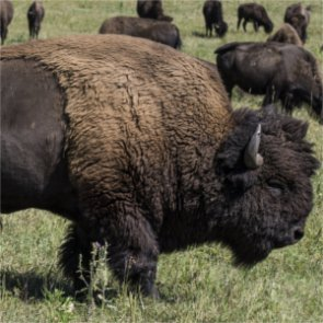 Yellowstone bison cull to remove 900 animals