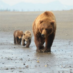 A gathering of grizzlies
