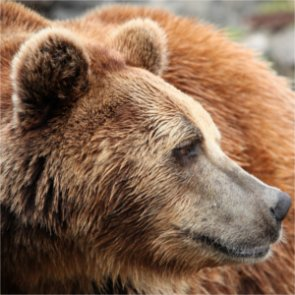 Yukon wants to sustain, manage grizzly population