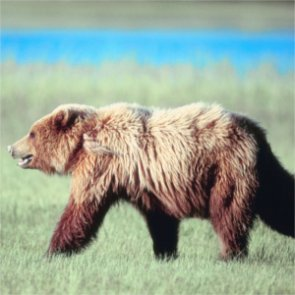 Animal activists call for end of BC grizzly hunt