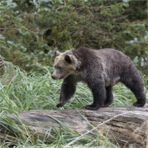 Grizzlies expand habitat range across Montana, Wyoming and Idaho