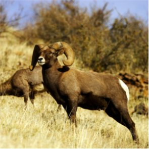 37 bighorns die of disease on National Bison Range