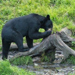 Washington forestry bear baiting program criticized
