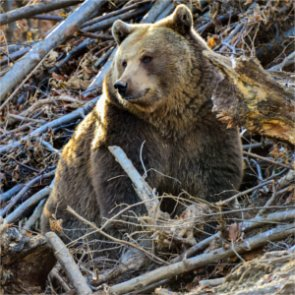 Montana grizzly killed for camp break-ins