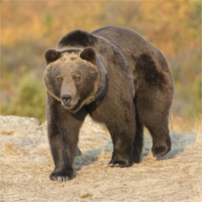 Montana tries to move forward with delisting grizzlies