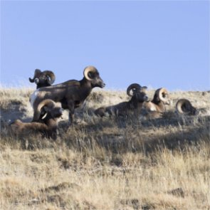 The 2016 North Dakota bighorn sheep season is on!