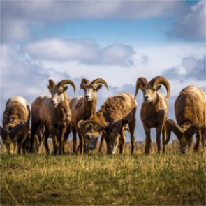 North Dakota bighorn sheep rebound