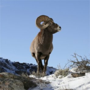 SD bighorns die of disease