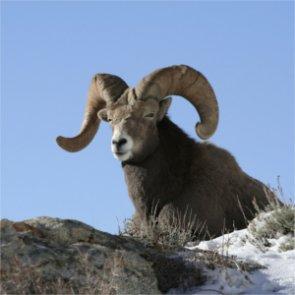 Slap on the wrist for Wyoming bighorn poacher