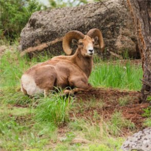 Idaho researchers monitor infectious bighorn herd