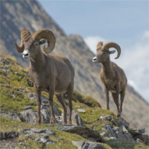 BLM's plan to capture and relocate bighorns might violate the Wilderness Act