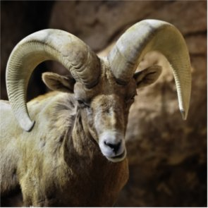 Nevada desert bighorns hit by disease