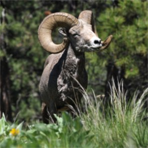 Wild Sheep Foundation anticipates $3 million for conservation projects