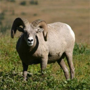 BLM closes three sheep grazing areas in Idaho