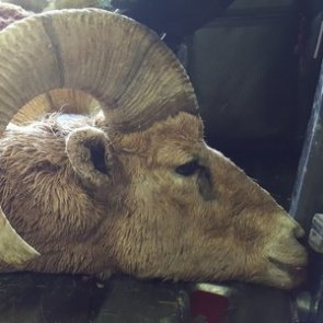 Idaho euthanizes two bighorn sheep