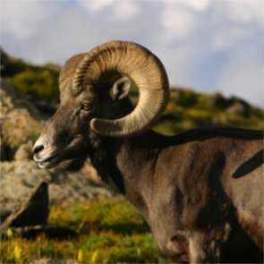 OSU researchers study disease within California bighorn sheep