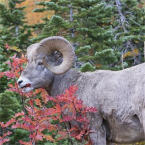 Idaho euthanizes bighorn to keep disease away from wild herd