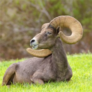 California launches bighorn sheep health and disease study