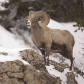 Utah DWR guilty of permitting illegal bighorn harvest