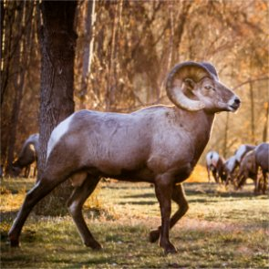 Fourth translocation for Catalina Mountains bighorn sheep