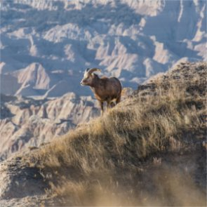 Montana moves forward with bighorn relocation despite disease