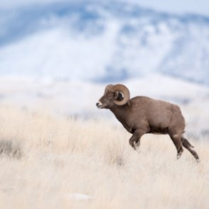 Bighorn skull and horn recovery legal in Montana