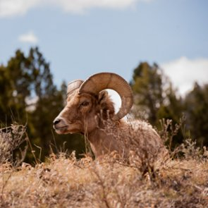 Bighorn sheep return to Antelope Island!