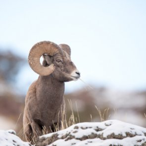 Pneumonia infiltrates Oregon's Burnt River bighorn sheep