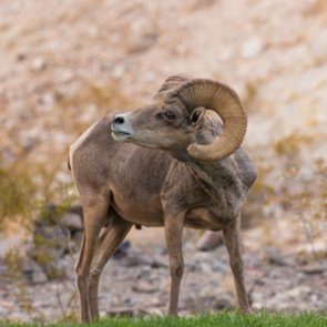 New study determines disease impact on desert bighorn sheep