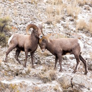 Researchers eradicate disease in greater Hells Canyon bighorn sheep