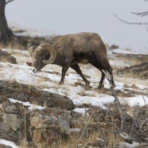 North Dakota bighorn sheep thriving