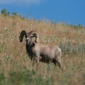 Wildlife groups unite, offer big reward to catch bighorn sheep poacher