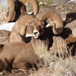 Ranchers blamed for bighorn die-off