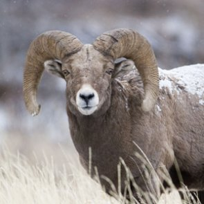 New study finds genetic diversity in translocated bighorn sheep