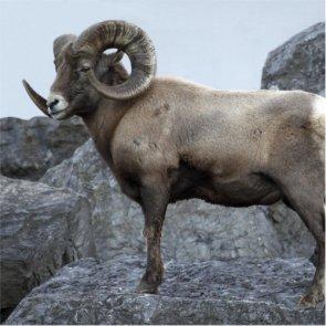 $15,000 reward offered in Oregon bighorn poaching case