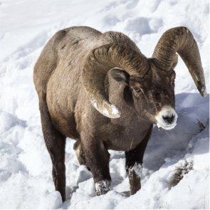 Oregon man kills two bighorn sheep