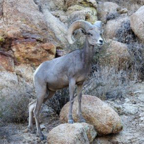 Another Arizona bighorn relocation