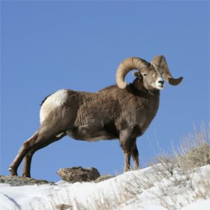 Bighorns, big problem?
