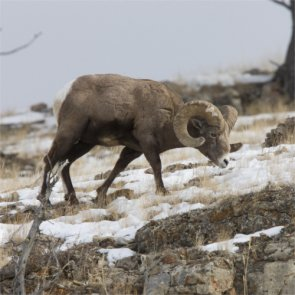 BC bighorns are dying