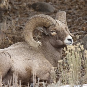 Judge sides with wildlife group on Montana bighorns