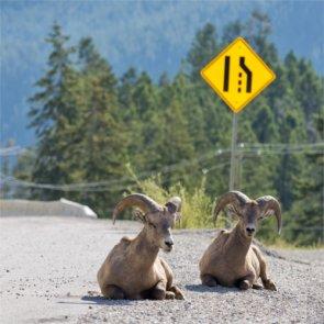 Bighorn sheep travel to Casper, Wyoming
