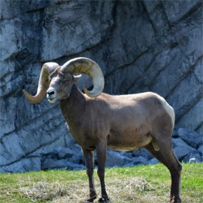 Nevada eliminates diseased bighorns