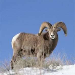 North Dakota announces possibility of bighorn sheep hunt