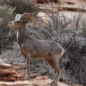 Disease impacts Nevada bighorns