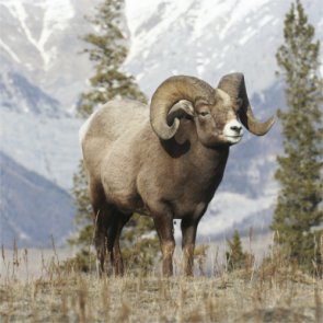 Three bighorns dead in ten days