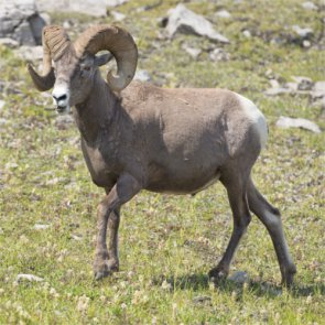 New study to focus on Montana bighorn sheep