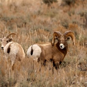 Hunters help Montana remove diseased bighorns