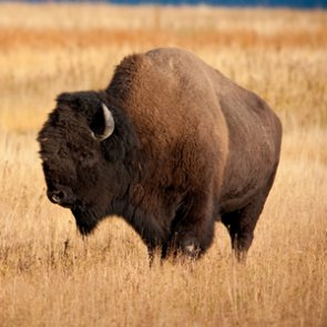 Grand Canyon National Park to hold bison reduction program
