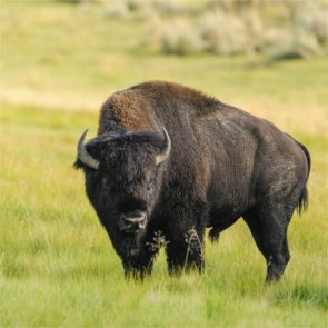 Arizona establishes bison